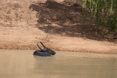 Cow in water. Cow resting in jungle watering hole royalty free stock photography