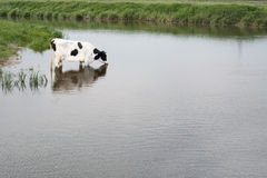 Cow in water. White Cow in the water Royalty Free Stock Photos