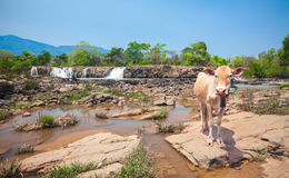 Cow and waterfall in Laos Stock Images