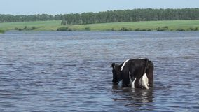 Cow at a watering on a hot summer day. Rural scene. Cow at a watering on a hot summer day stock footage