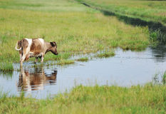 Cow on a watering place. The cow is on a meadow filled in with water Royalty Free Stock Photography