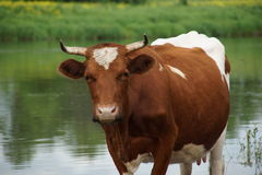 Cow. At the watering in the river Royalty Free Stock Images