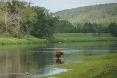 Cow. At the watering in the river near the mountain Royalty Free Stock Image