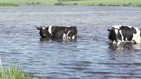 Cow went into the water on a hot summer day because of heat. Rural scene. Cow went into the water on a hot summer day because of heat stock video footage