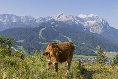 Cow  in Werdenfels country Stock Images
