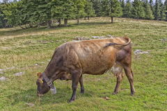 Cow which grazes in a field Stock Image