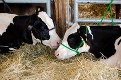 Cow whisperer Stock Images
