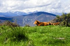 Cow whit a view Royalty Free Stock Image