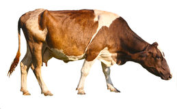 Cow on white. Side view of a brown cow in front of a white background Stock Photos