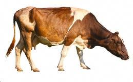 Cow on white stock photos