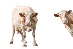 Cow  on white background Stock Image