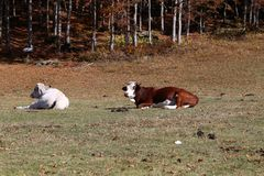 Cow. White and brown  cows in mountain Stock Photo