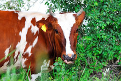 Cow white and brown . Royalty Free Stock Photos