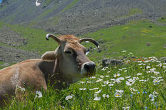 Cow among  white pyrethrum Royalty Free Stock Photography