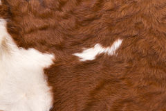Cow with white on reddish brown hide. Pattern of a cow with white on reddish brown hide Stock Photos