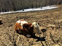 Cow into the wild. Mountains, snow, trees, winter, cow, field, shadow and space Stock Photography