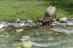 Cow the wild, South Tyrol, Italy. Cow in the wild is the cool river, South Tyrol, Italy Stock Images