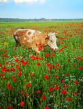 Cow in wildflowers field. A view of a cow grazing in a field of red poppy wildflowers stock photography