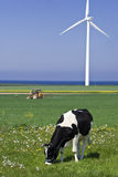 Cow and wind turbine. Closeup of grazing cow in field with wind turbine in background royalty free stock images