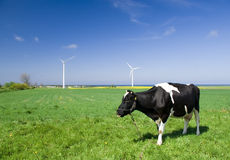 Cow and wind turbines. A cow on green grass field with several wind turbines on clear blue sky Royalty Free Stock Photos