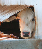 Cow in window. Cow looking out barn window Royalty Free Stock Photos