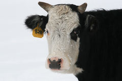 Cow in the winter. Cow on the ranch in the cold of winter snow Stock Photo
