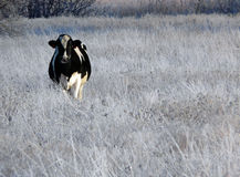 Cow in Winter Field stock images