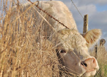 Cow between the wire Royalty Free Stock Photos