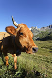 Cow world Royalty Free Stock Image