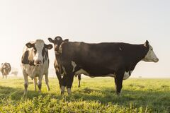 Cow's on Grass Field Under White Sky Royalty Free Stock Photos
