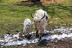Cow.  Yak Royalty Free Stock Photography