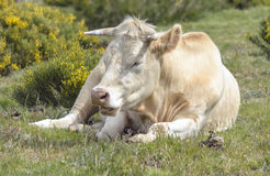Cow yawning after sleep Royalty Free Stock Photo