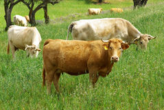A cow of yellow coat. Royalty Free Stock Photos