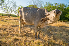 Cow on yellow meadow. Eating hay Royalty Free Stock Photography
