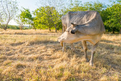 Cow on yellow meadow Royalty Free Stock Images
