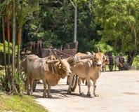 Cow with yoke Stock Photo