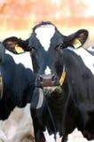 cow young Στοκ Εικόνες