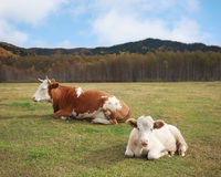 Cow and the young bull lying in a meadow Stock Images