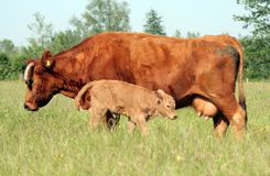 Cow and Young Calf 02 Royalty Free Stock Image