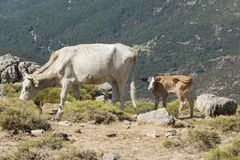 Cow and young calf freely roaming on mountain meadow Stock Photos