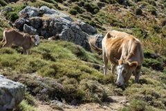 Cow and young calf freely roaming on mountain meadow Stock Photo