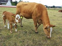Cow with young calf. Cow with young calf grazing on a meadow Stock Images