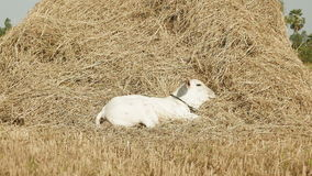 Cow, young cow, haystack, straw, hay , hayfield stock footage