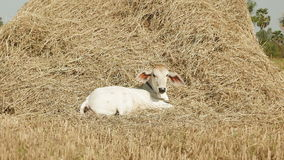 Cow, young cow, haystack, straw, hay  hayfield stock footage