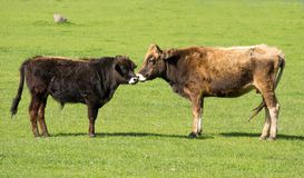 Cow and young ox. On green meadow Stock Images