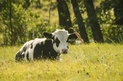 Cow youngster. Resting in a summer field Stock Photo