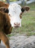 cow1 любознательное Стоковое Изображение RF