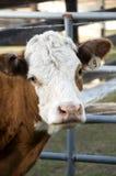 cow2 любознательное Стоковые Изображения RF
