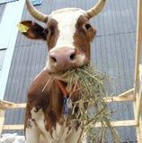 Cow2 Foto de archivo libre de regalías