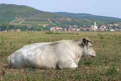 Cow5 Lizenzfreies Stockbild